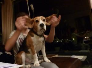 Der Beagle Eddi ist zwar verfressen, aber auch duldsam. Von Tobias lässt er sich fast alles gefallen. (Foto: Nissen)